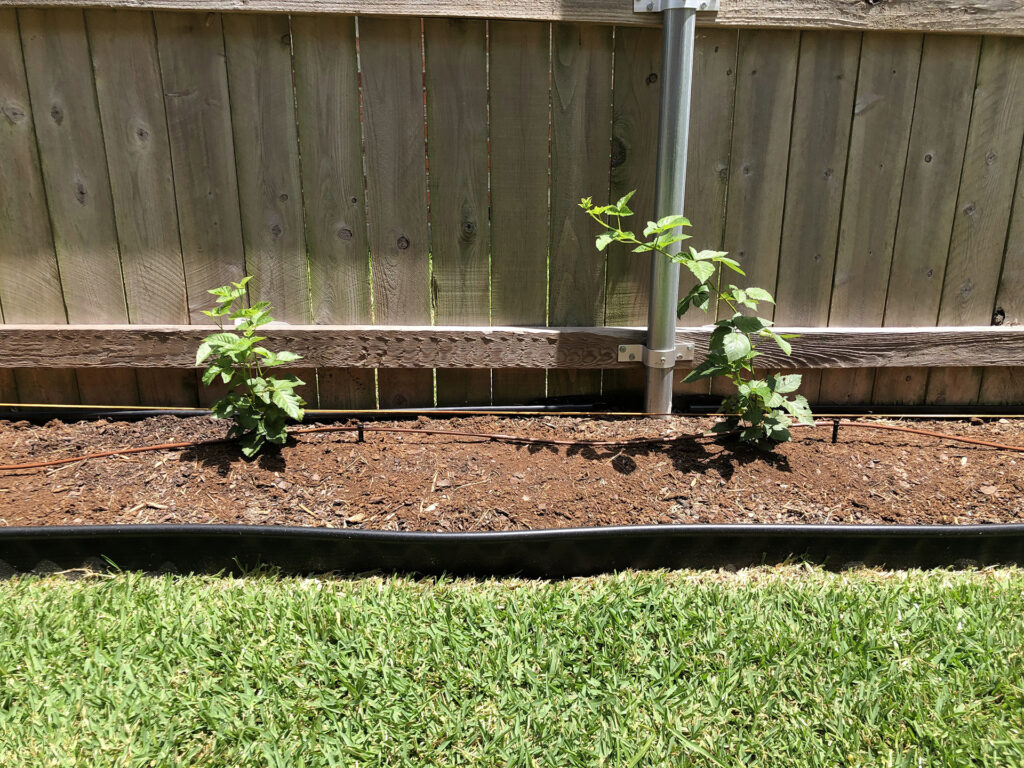 Natchez Blackberry plants 1 and 2 on July 18th, 2020