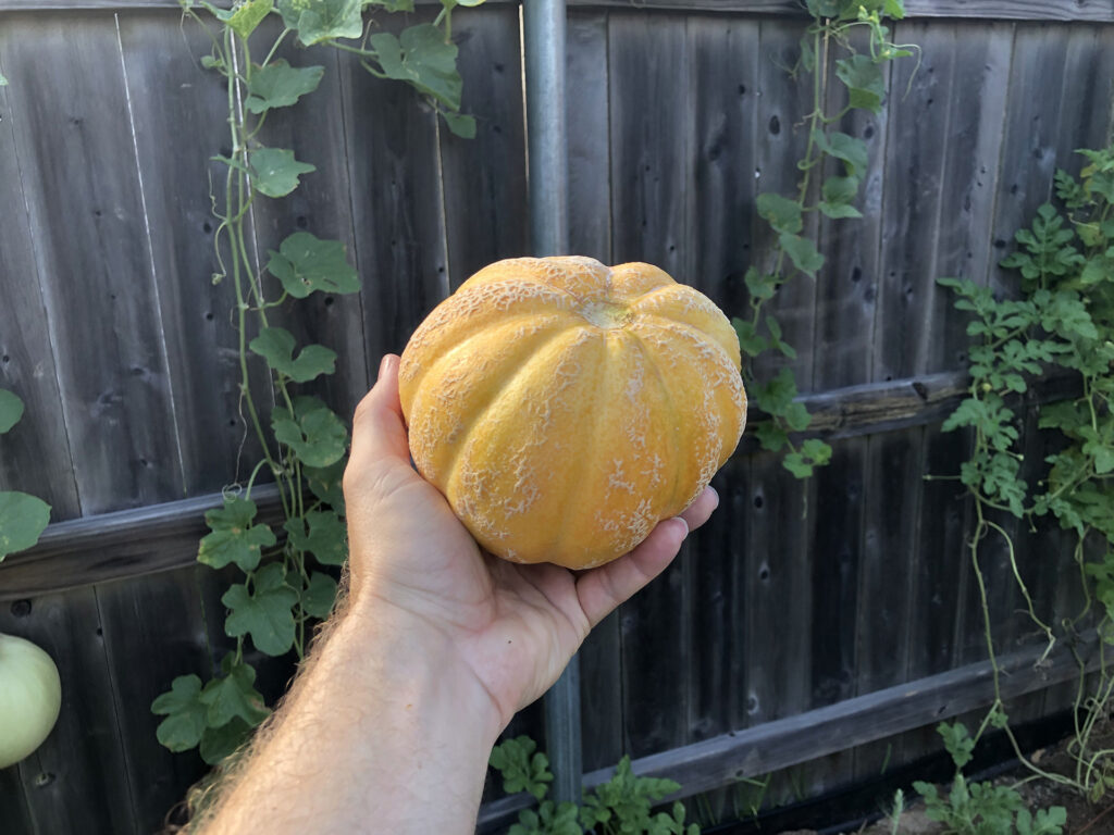 cantaloupe harvested 8-11-2020