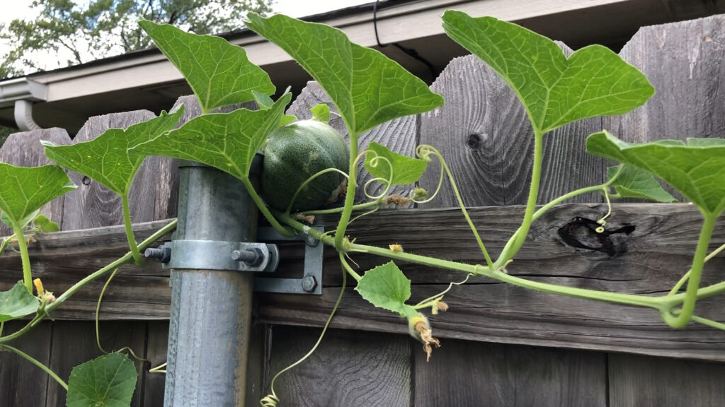 Cantaloupe growing hidden