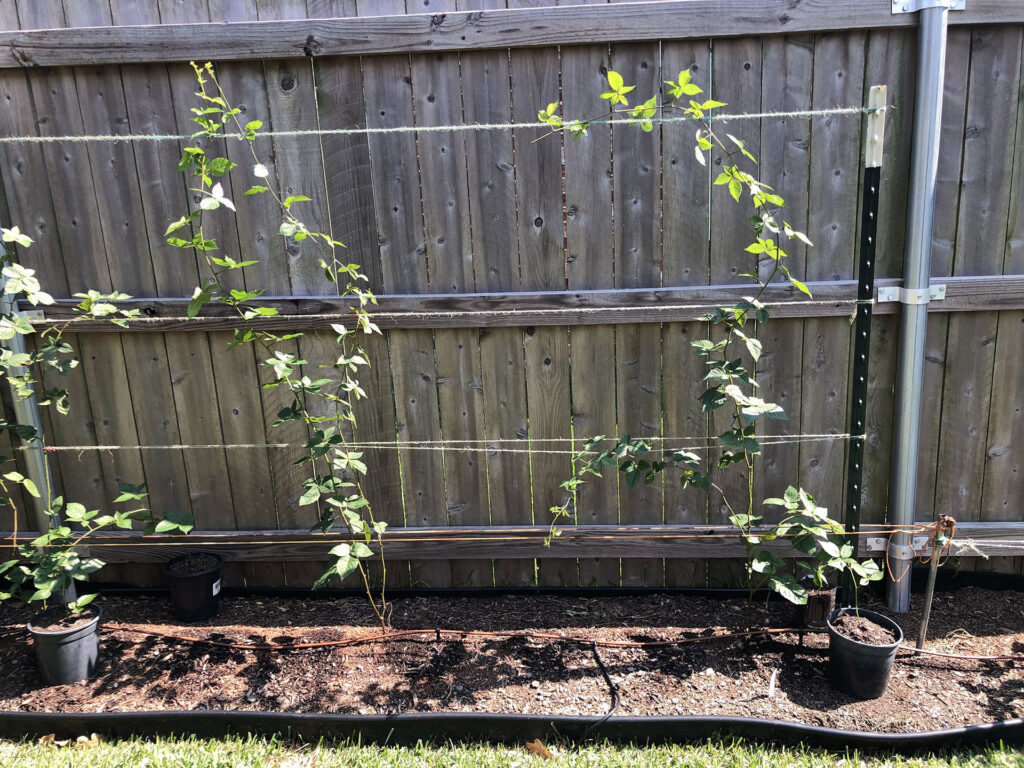 Natchez Blackberry plants 3 and 4 on Oct 1st, 2020