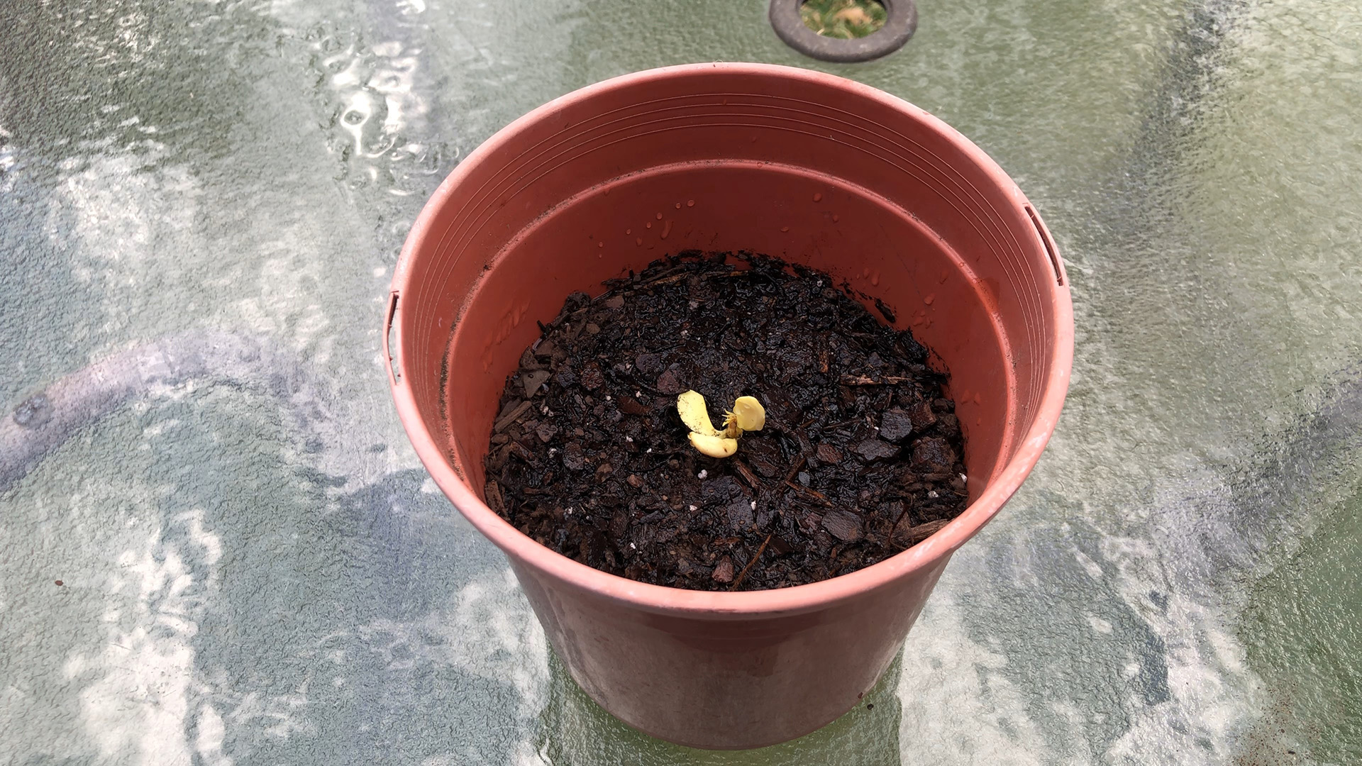 Peach Seedling in the pot
